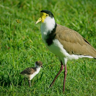 Masked Lapwing with young