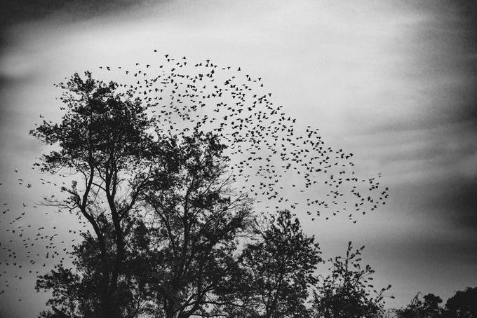 Black Bird Take Over by MelodyPepper - Tree Silhouettes Photo Contest