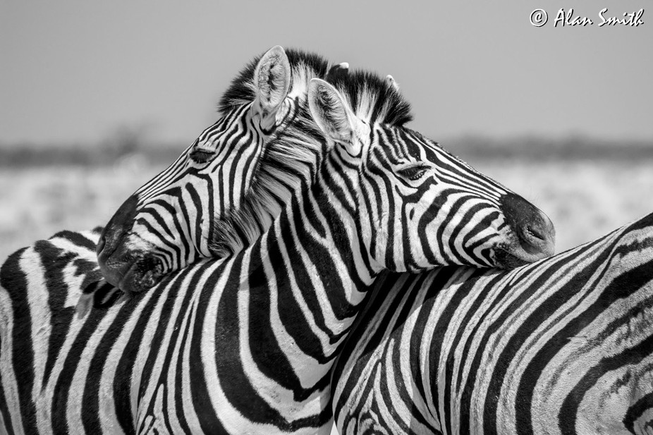A mare and her foal enjoying an intimate moment in Etosha National Park, Namibia
