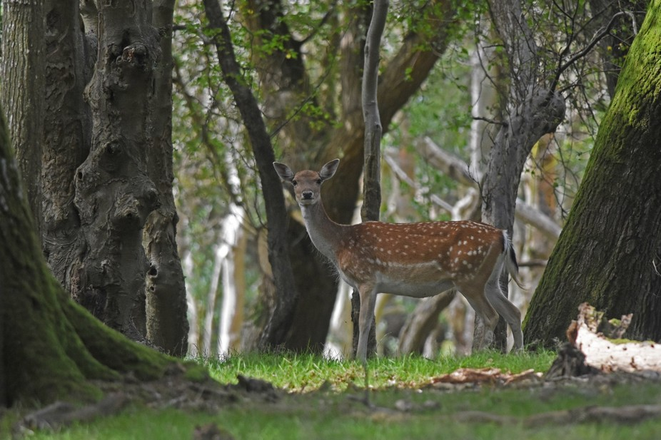 A deer spotted in the New Forest, England.