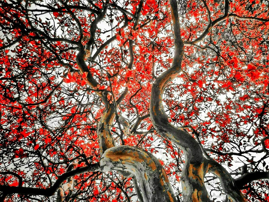 TREE OF RED