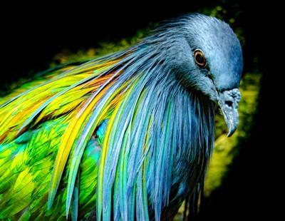 Nicobar Pigeon Head Close-up