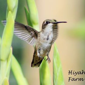 A beautiful hummingbird among the Gladiolus flowers.