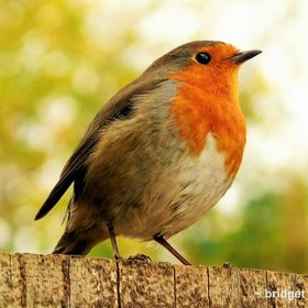 Our friendly Robin Prince who has been around the farm for a few years now and often frequents the office!