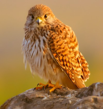 """I See You..."" Common Kestrel - Hyderabad"