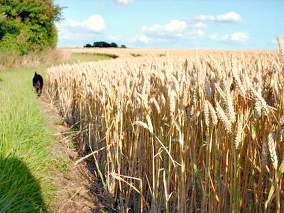 A lovely summers evening in Saffron Walden, England. Walking the dog, Sasha who is up ahead, walking by the ripe corn.