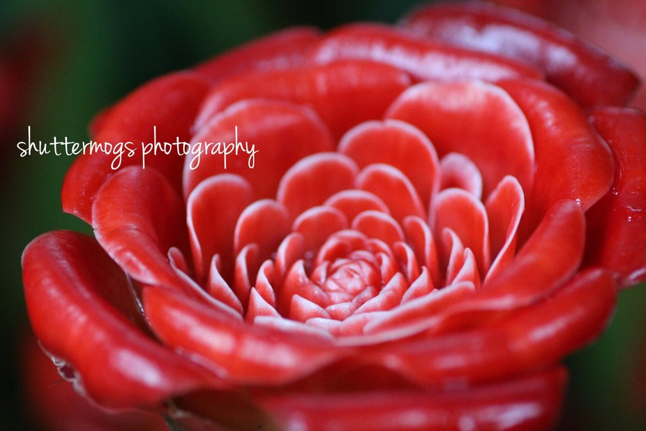 Close up of a Siam Ginger Rose