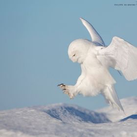 Beautiful male snow owl, Quebec, CANADA
