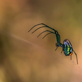 This is a Venusta Orchard Spider ... taken on a walk through the Northlake Nature Preserve, Mandeville, Louisiana. I was there taking photos of t...