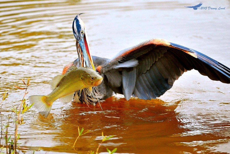 I took this picture of the Great Blue Heron catching a Large Mouth Bass early in the morning when...