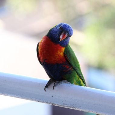 "I happen to be a licenced native animal rehabilitator so I get these little guys in care all the time. One of my most notable rescues and releases was a Rainbow Lorikeet that I nicknamed ""Gizmo"". Gizmo came into my care as a chick who was completely paralised, after several months being rehabilitated, he was finally released with another Lorikeet he was paired with. Gizmo returns to my place almost every day. He has his own personality that stands out and his partner has her own personality that also stands out from all the other Lorikeets in the area."