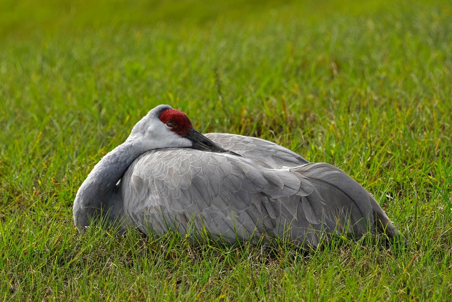 A sandhill crane napping in Mount Plymouth Florida
