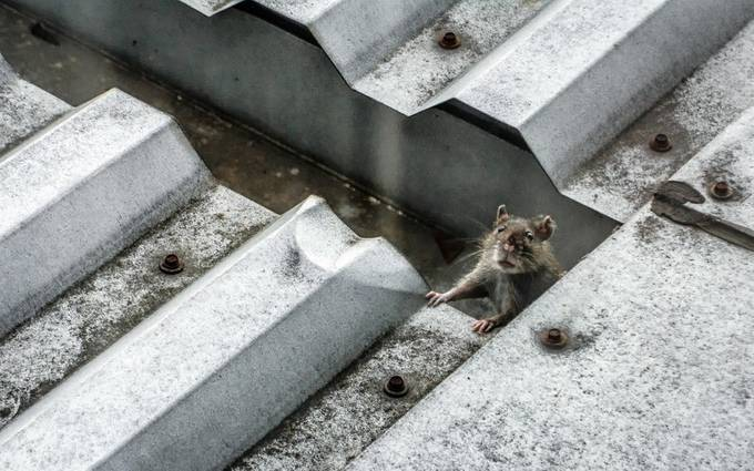 Rat on a Hot Tin Roof by saraascalon - Clever Angles Photo Contest