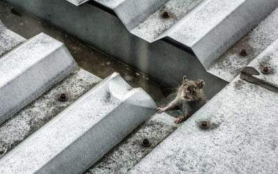 Rat on a Hot Tin Roof