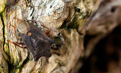Red Legged Shieldbug (Forest Bug)_Pentatoma rufipes