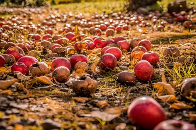Rotting Apples-2 (1 of 1)
