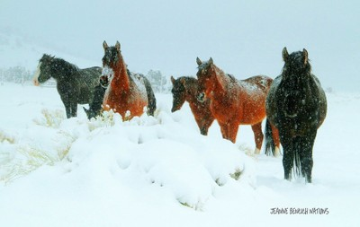 WILD HORSE OUTLAWS ~TOUGH SURVIVORS IN THE HIGH DESERT WINTERS OF NEVADA