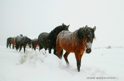 Herd of wild horse plowing through the snow