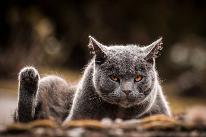 Devil's Eye by Yorge - Dogs or Cats Photo Contest