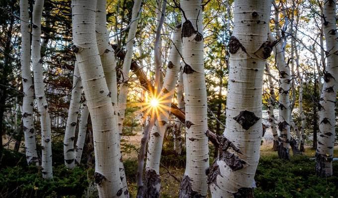 Tree Burst by Chrisluse240 - Tall Trees Photo Contest