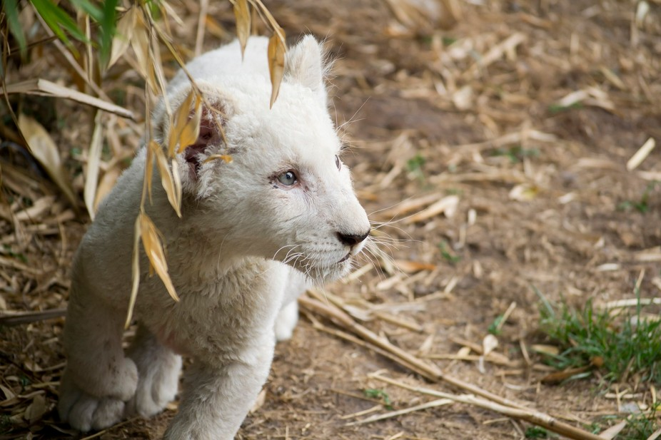 white lion cub at play
