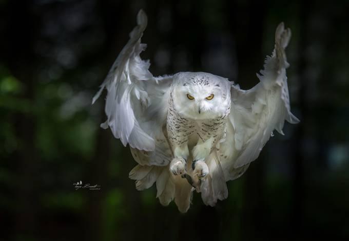 Barn Owl Taking Off 38+ Photos Of Birds Ca...