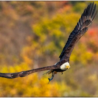 Eagle grabbing his lunch to go at Conowingo Dam; fall colors just add to the majesty of this bird showing off his FULL wingspan.