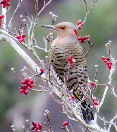 Flicker and red berries