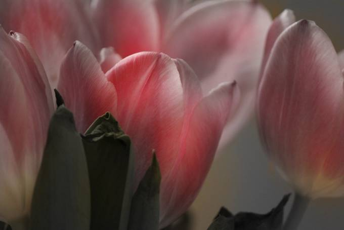 Tulips by deborahschillbach - Pink Photo Contest