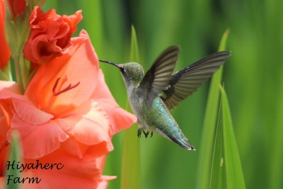 Hummingbird on Gladiola