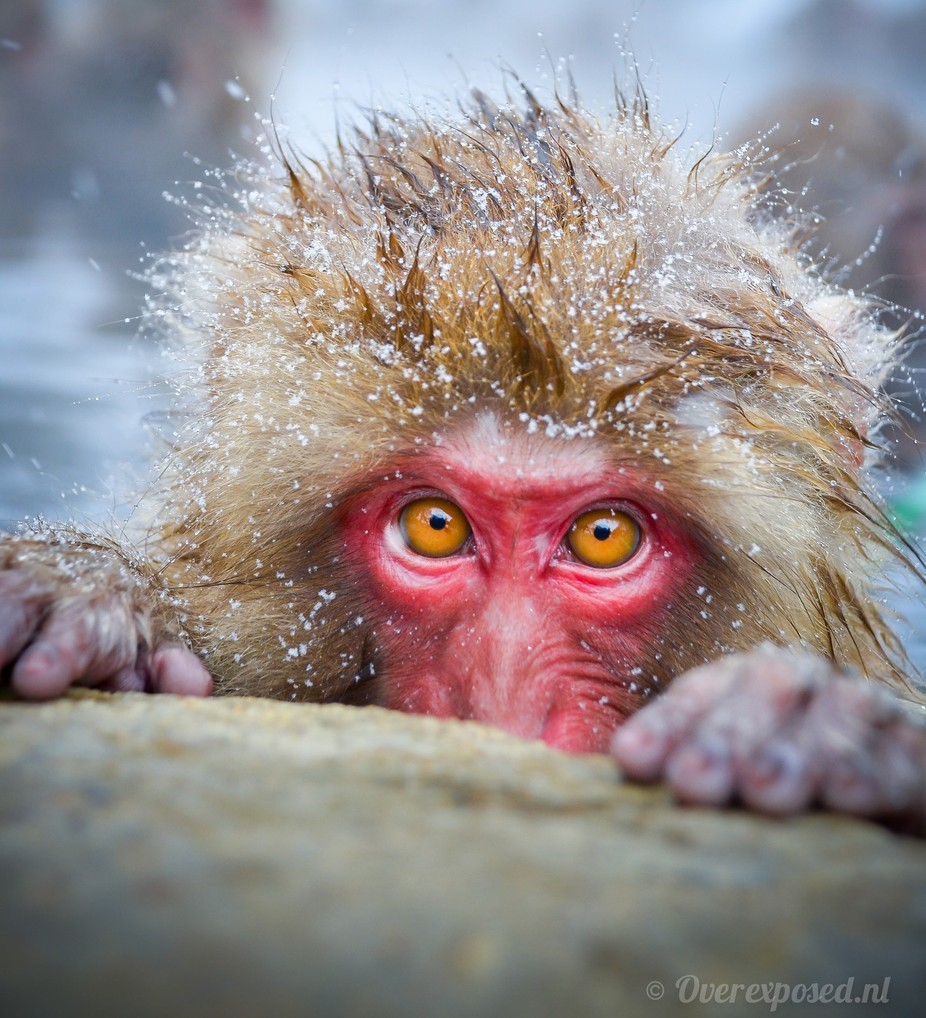 SNOW MONKEY by russellpearson - Monkeys And Apes Photo Contest
