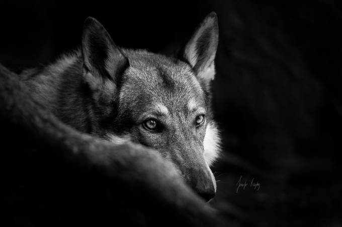 About a Wolf by hadissima - Animals In Black And White Photo Contest