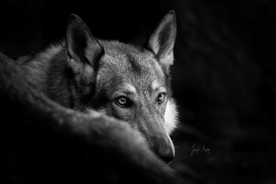 About a Wolf