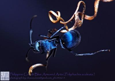 Philippine Cobalt Blue Armored Ants ( Polyrhachis Aculeata viola Zettel, 2013 Polyrhachis )