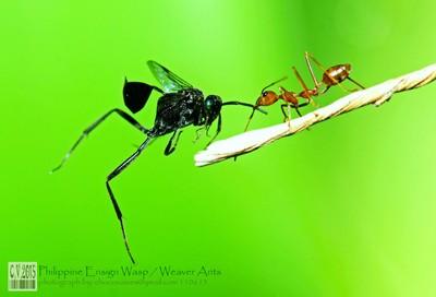 Ensign Wasps - Weaver ants