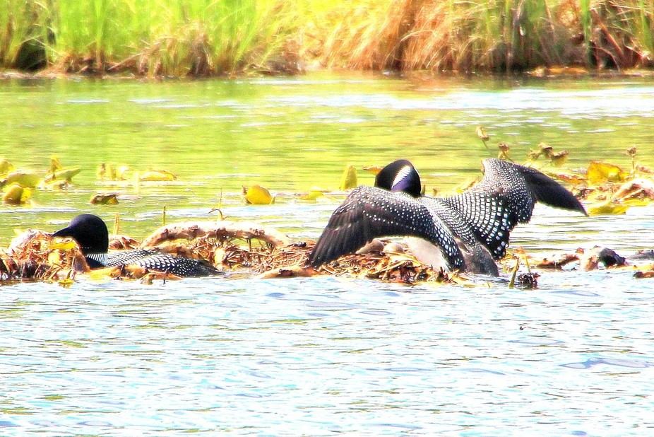 Was fishing in MN and came upon this loon nest.  The Daddy? flew in to take his turn sitting on t...