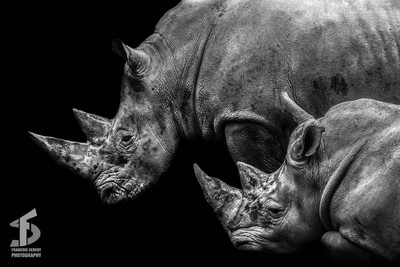 A couple of rhinoceros