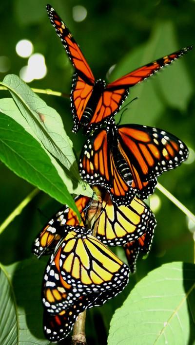Monarchs Released