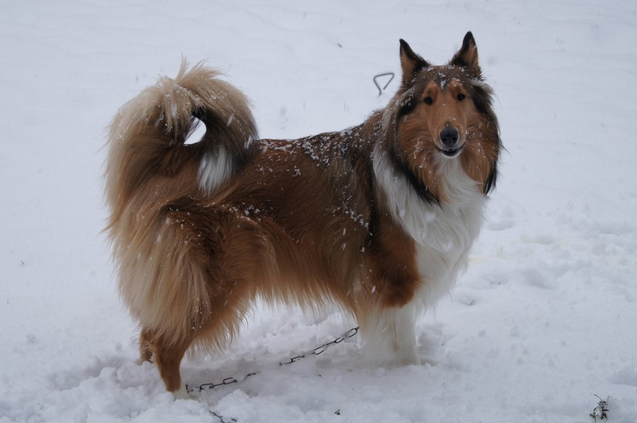My collie Dixie loves to play in the snow. I make snowballs and throw them so she can try to catc...