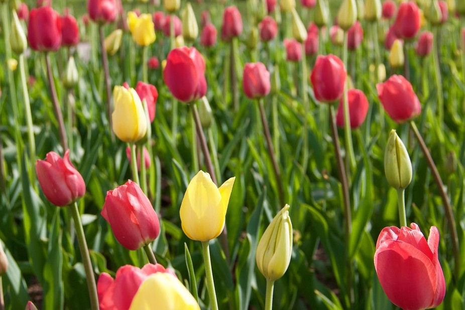 Every year in Holland, MI there is a Tulip Festival, where hundreds of thousands of tulips bloom ...