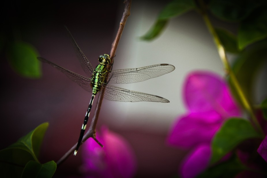 2010. A green dragonfly rests on a large pink bougainvillea bush in Seminyak, Bali.