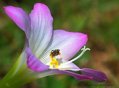 Crocus 6 with Native bee, Australia