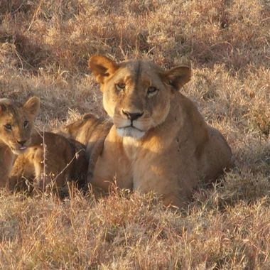 seemingly undisturbed by our presence this lioness simpy rested with her cubs.