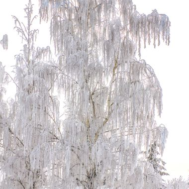 A Weeping birch heavy with snow and frost.  Oh Canada!