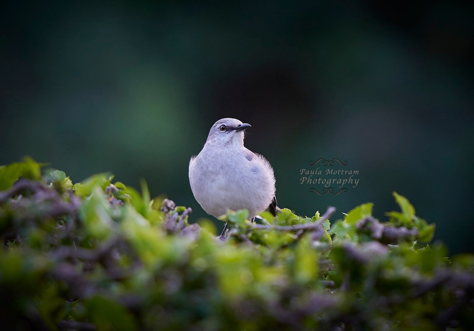 Mexico Mocking Bird