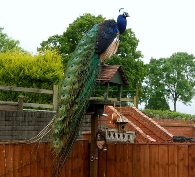 Peacock on lookout!