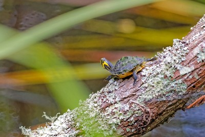 Yellow tail turtle