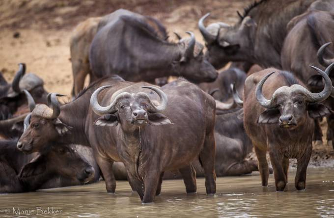 Buffalo herd drinking by maniebekker - Animals And Water Photo Contest