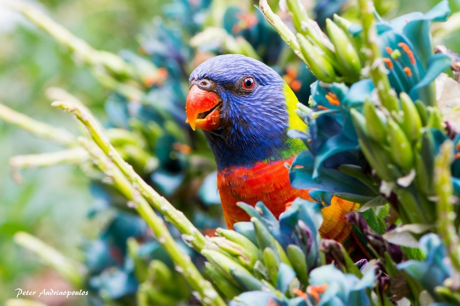 Captured this magnificent Rainbow Lorikeet in Adelaide's Botanical Gardens mid afternoon...
