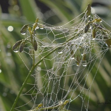 spider webbed buds in morning dew